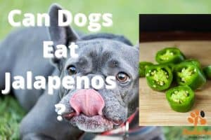 can dogs eat jalapenos