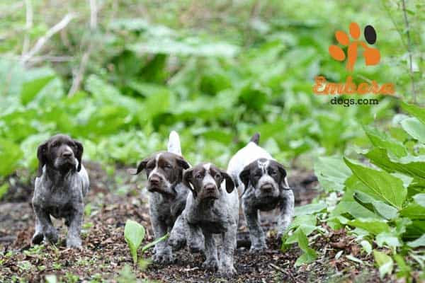 How-Many-Puppies-Do-Chihuahuas-Have-in-a-Litter-Usually