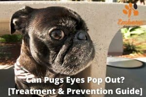can pugs eyes pop out