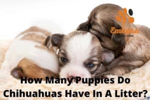how many puppies do chihuahuas have in a litter