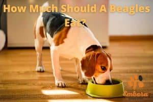 how much should beagles eat