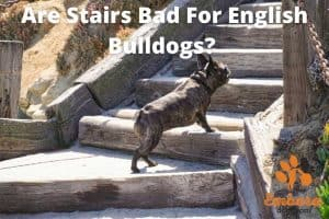 are stairs bad for english bulldogs