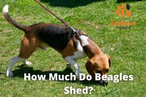 how much do beagles shed