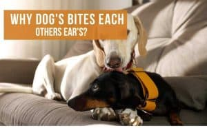 what does it mean when a dog bites another dogs ear