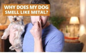 why does my dog smell like metal